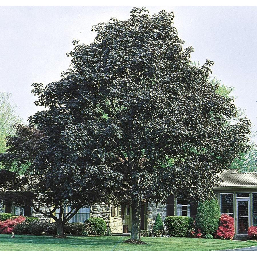 6-Gallon Crimson King Norway Maple Shade Tree (L3166)