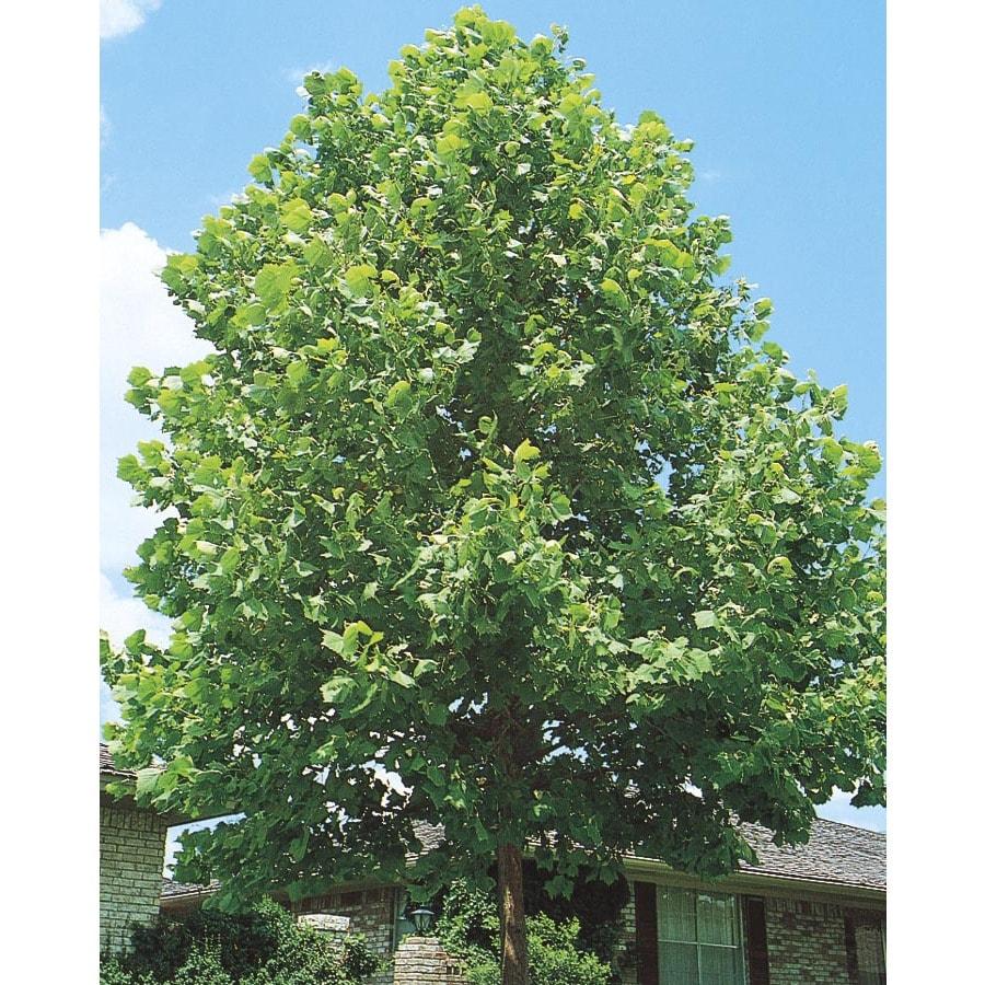 6-Gallon Sycamore Tree Shade Tree (L1049)
