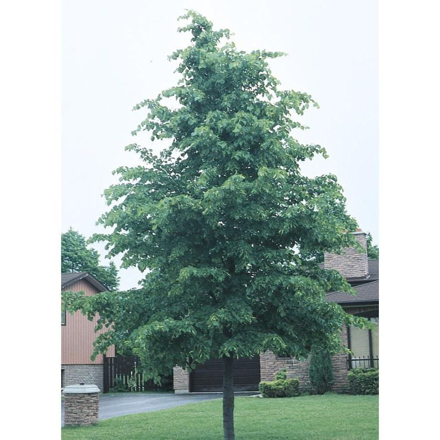 6-Gallon Littleleaf Linden Shade Tree (L6140)