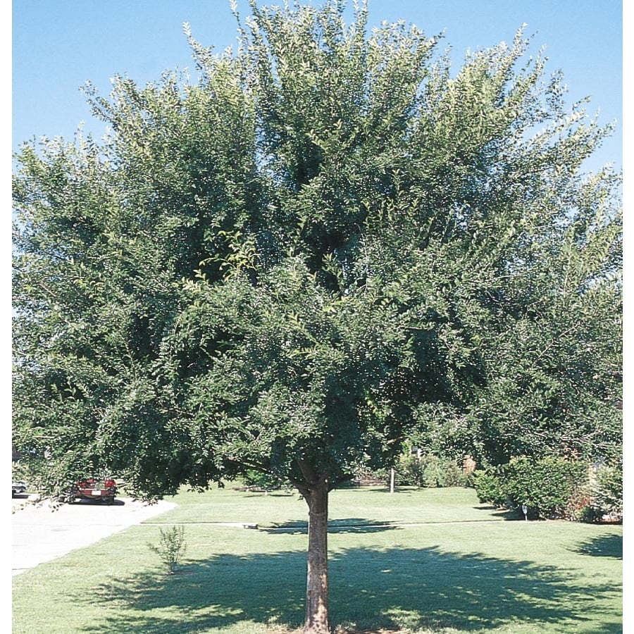 12.68-Gallon Triumph Elm Shade Tree (L2092)