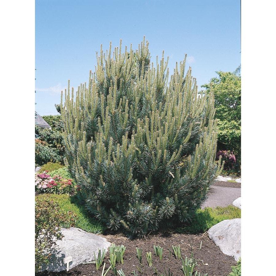 5.5-Gallon Dwarf Scotch Pine Feature Tree (L5204)