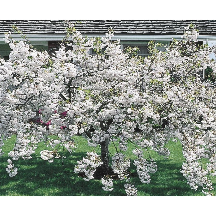 12.68-Gallon Snow Goose Flowering Cherry Flowering Tree (L6720)