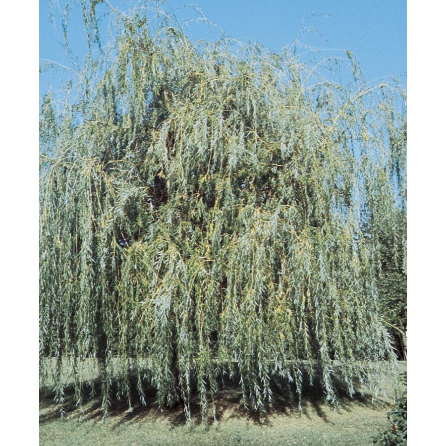 6-Gallon Golden Weeping Willow Shade Tree (L7641)