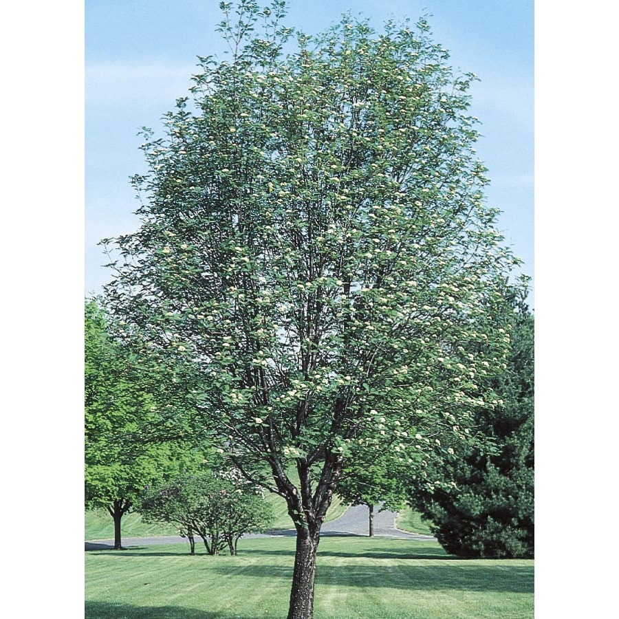 12.68-Gallon European Mountain Ash Shade Tree (L1070)