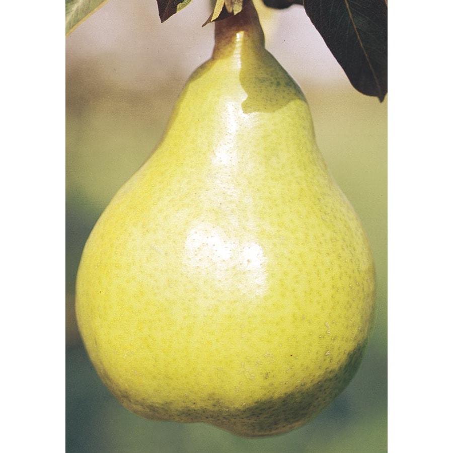 Shop 12 68 Gallon Bartlett Pear Tree L1386 At Lowes Com