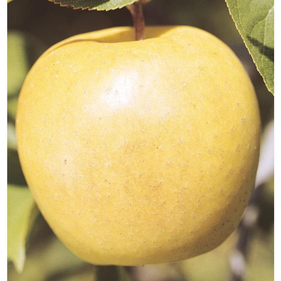 3.58-Gallon Smoothee Apple Tree (L22429)