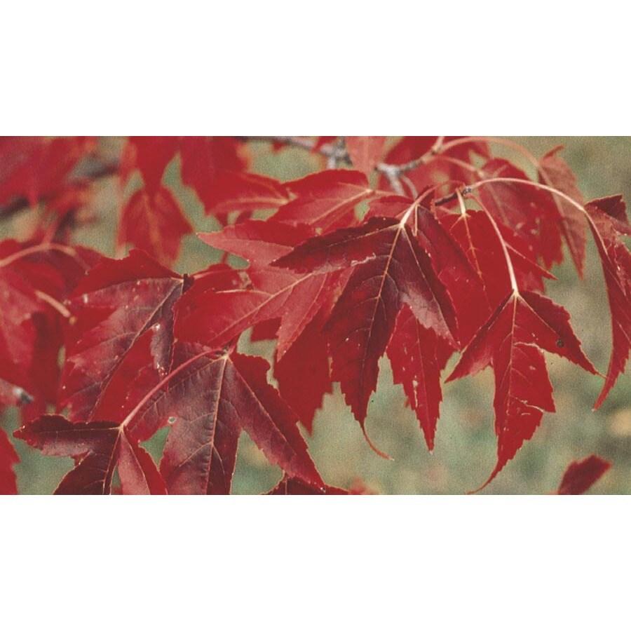 2.54-Gallon Flame Amur Maple Feature Tree (L8729)