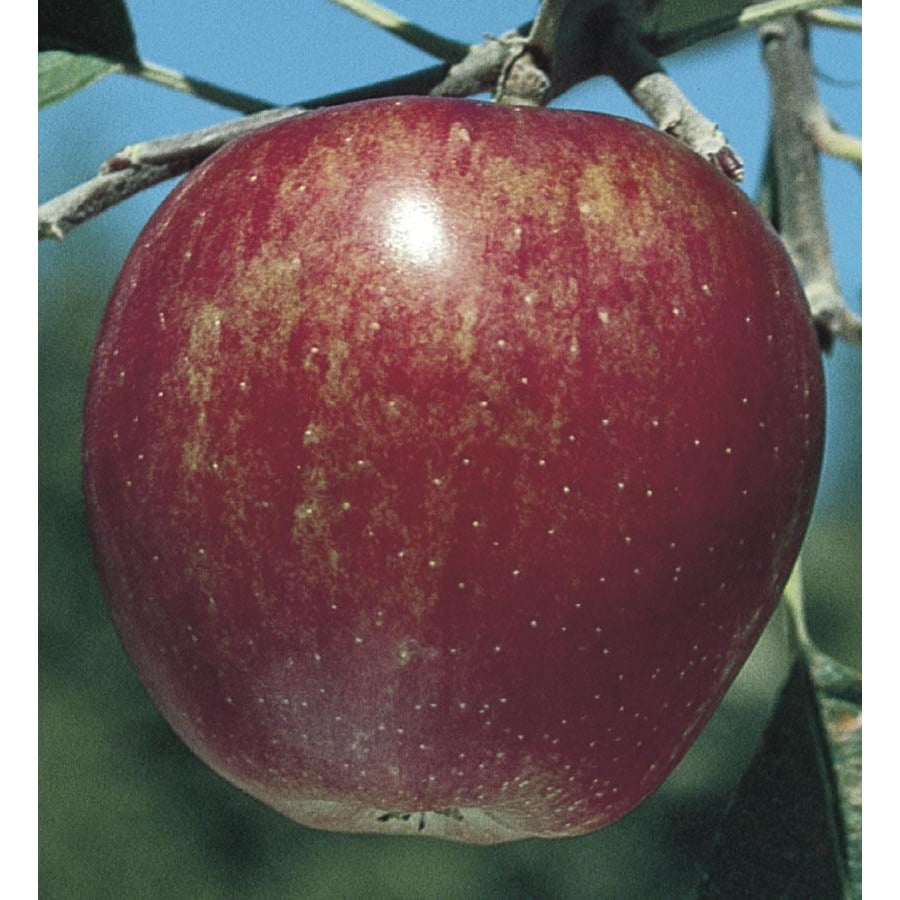 3.58-Gallon Winesap Semi-Dwarf Apple Tree (L4518)