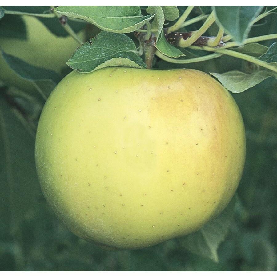 3.58-Gallon Ozark Semi-Dwarf Apple Tree (L24785)