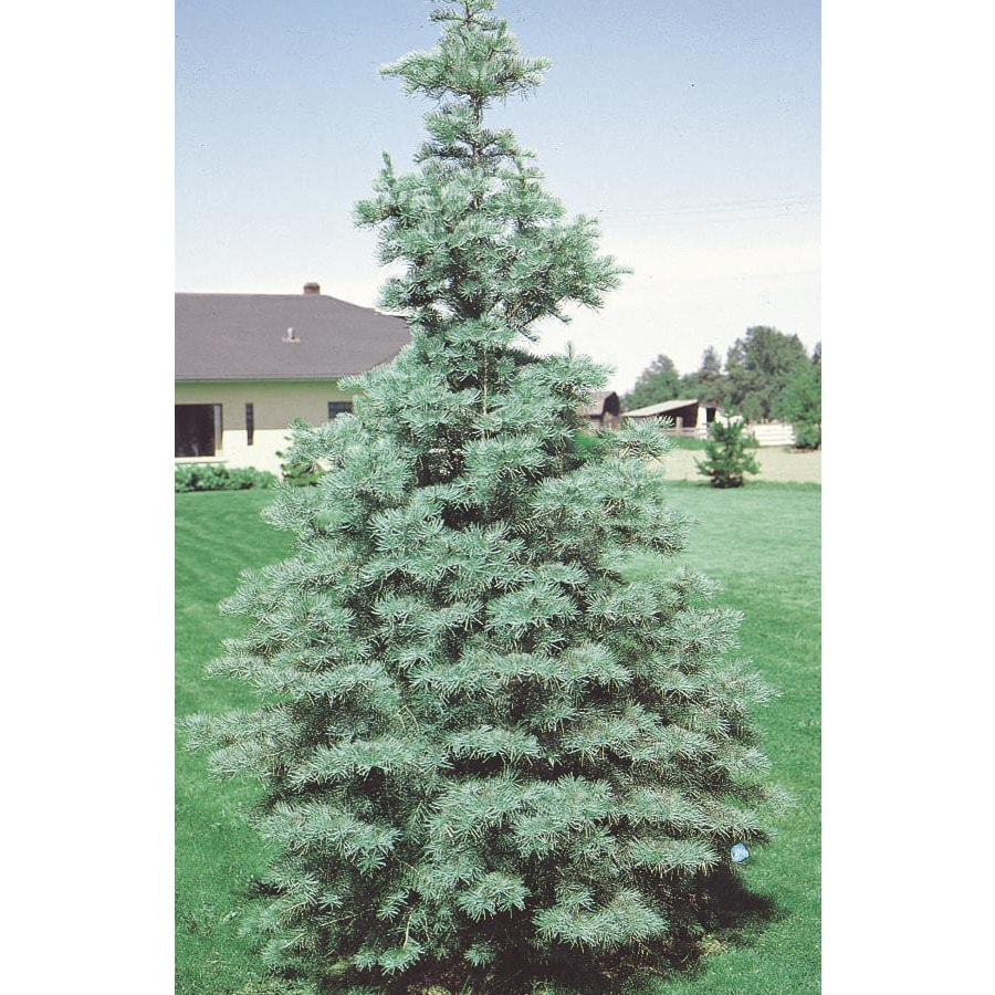 6-Gallon White Fir Feature Tree (L4161)