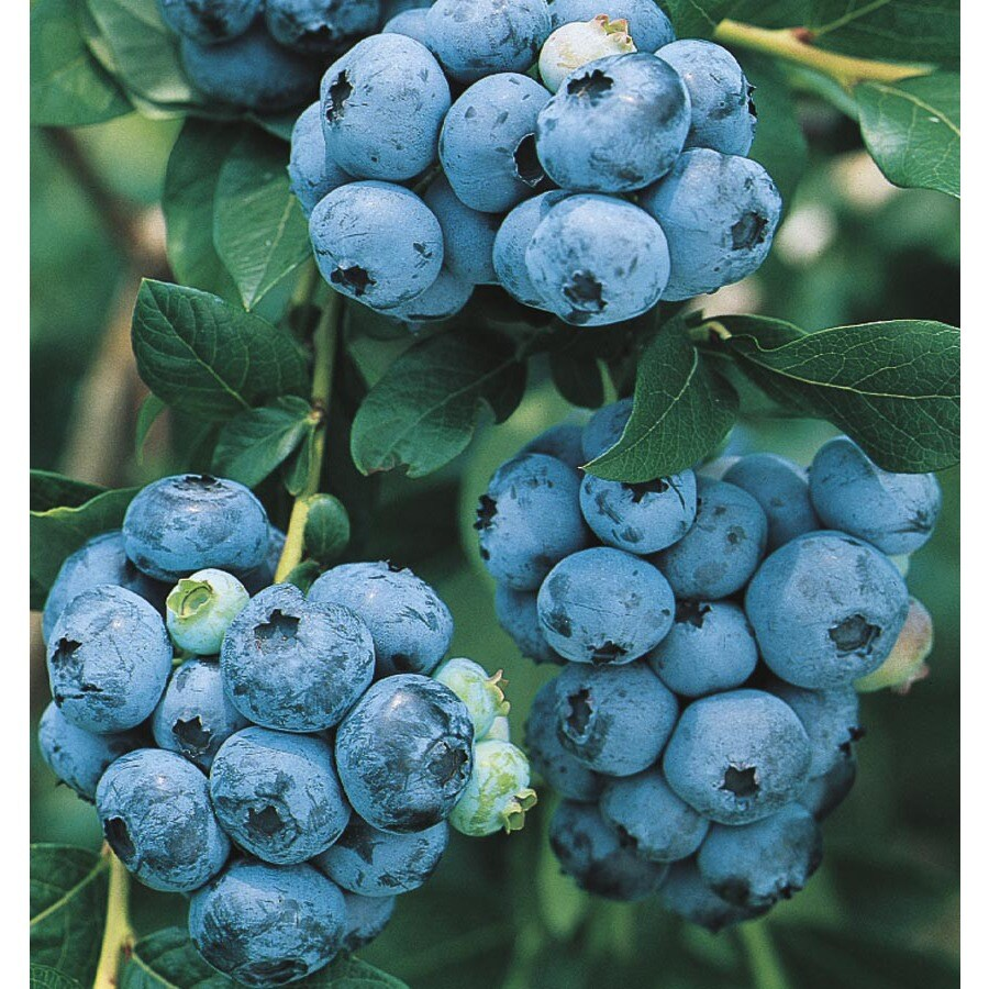 3.63-Gallon Blueberry Small Fruit (L6021)