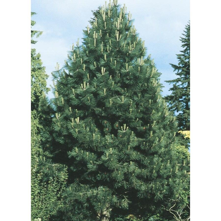 2.25-Gallon Western Yellow Pine (L10767)