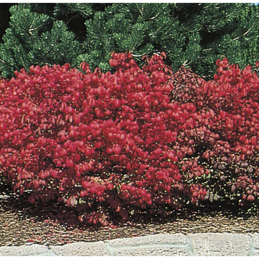 6.08-Gallon Dwarf Burning Bush Foundation/Hedge Shrub (L1009)