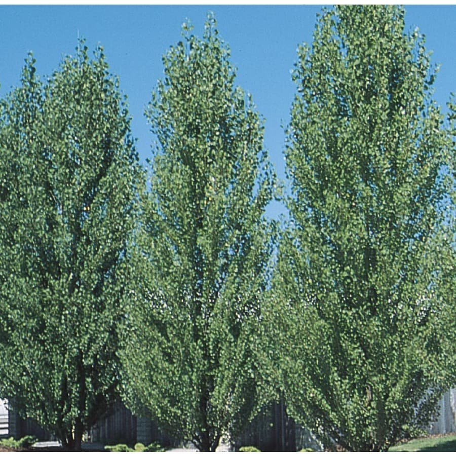 3.63-Gallon Lombardy Poplar Shade Tree (L4389)