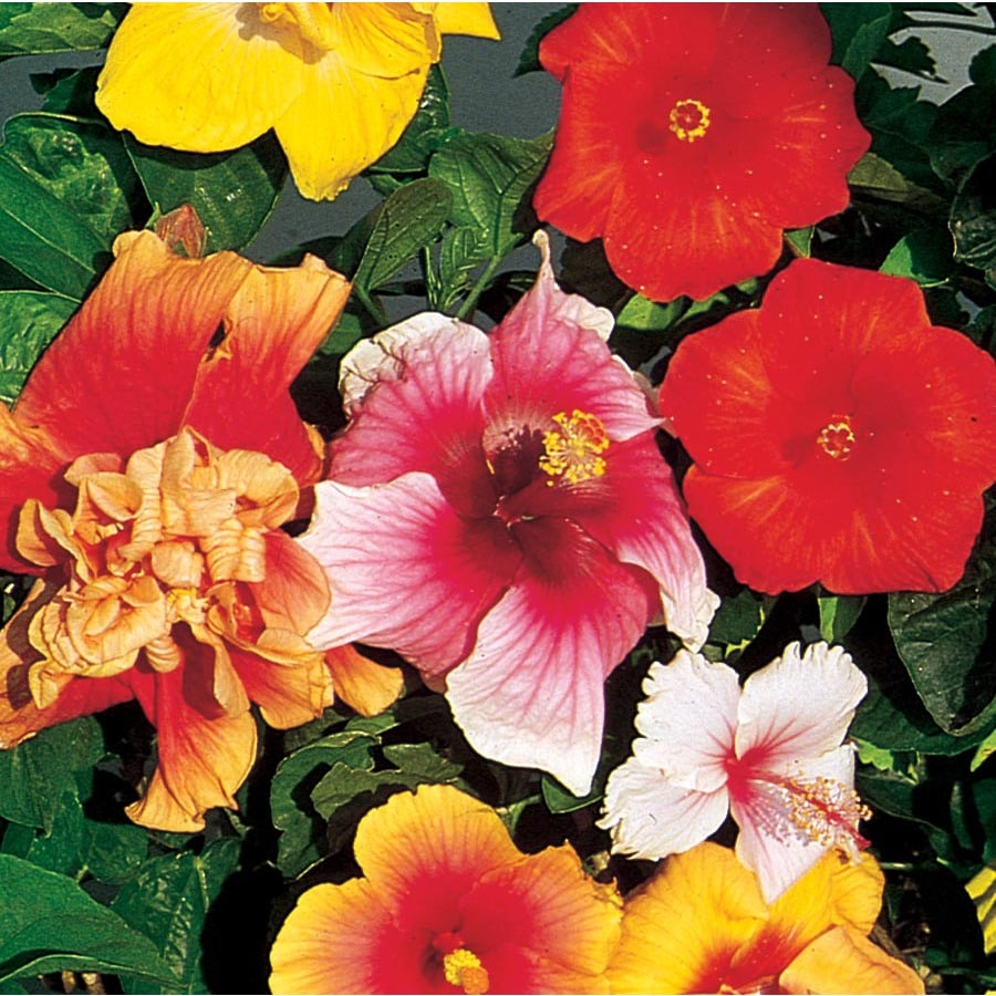 2-Gallon Mixed Hibiscus Flowering Shrub (L10437)