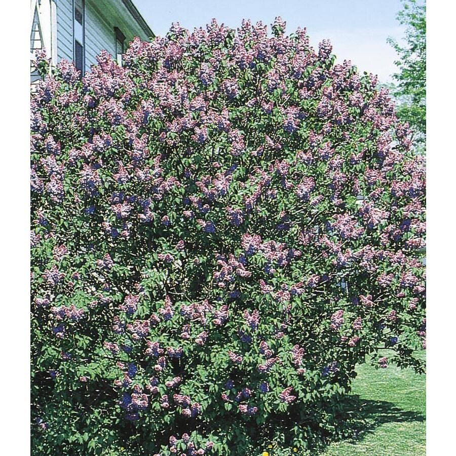 3.63-Gallon Purple Old Fashioned Purple Lilac Flowering Shrub (L7783)