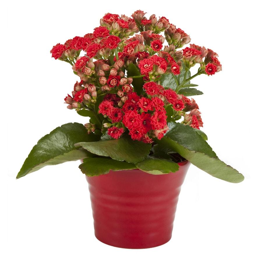 Exotic Angel Plants 1.25-Pint Kalanchoe (L20335)