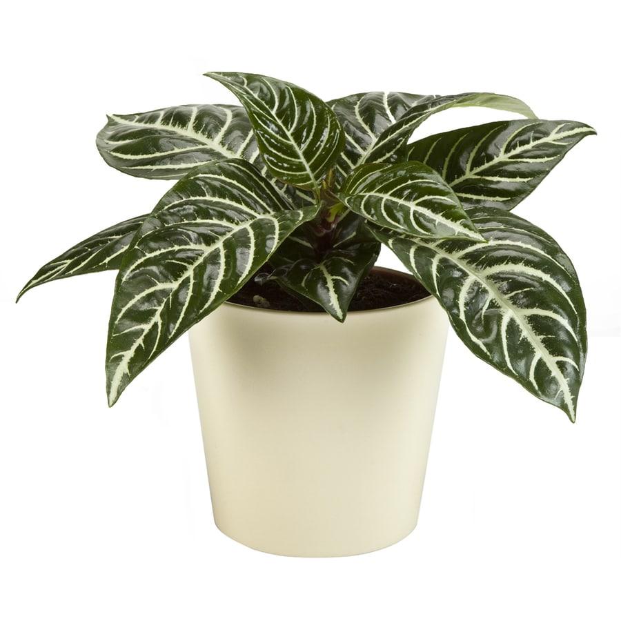 Exotic Angel Plants 1.25-Quart Zebra Plant (L02418hp)