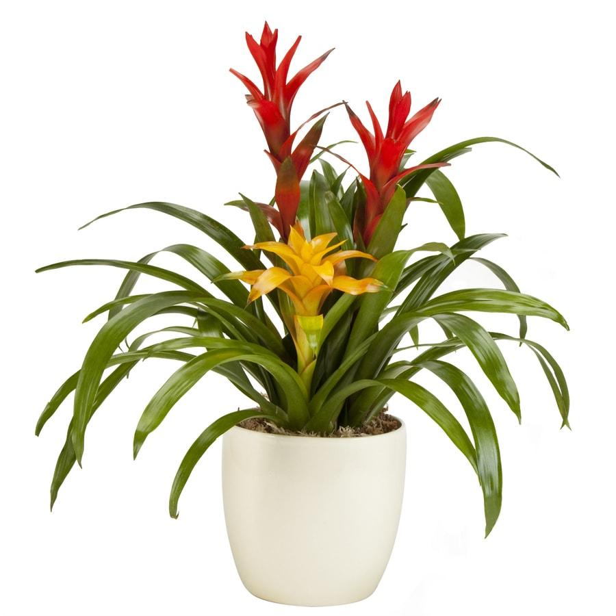 Exotic Angel Plants 1.31-Quart Bromeliad (L2393)