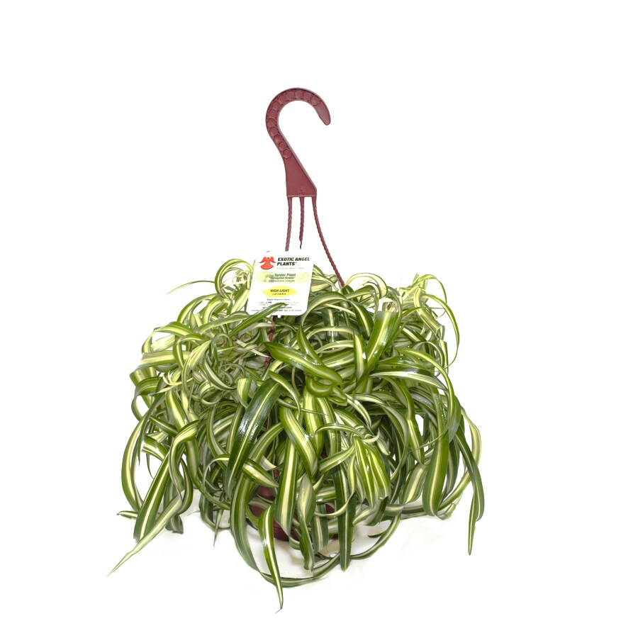 Exotic Angel Plants Spider Plant in 1.45 Quart Hanging Basket