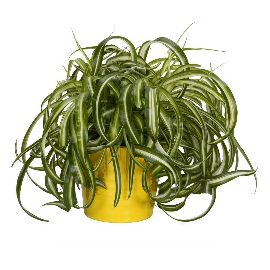 shop exotic angel plants spider plant in 1 45 quart ceramic