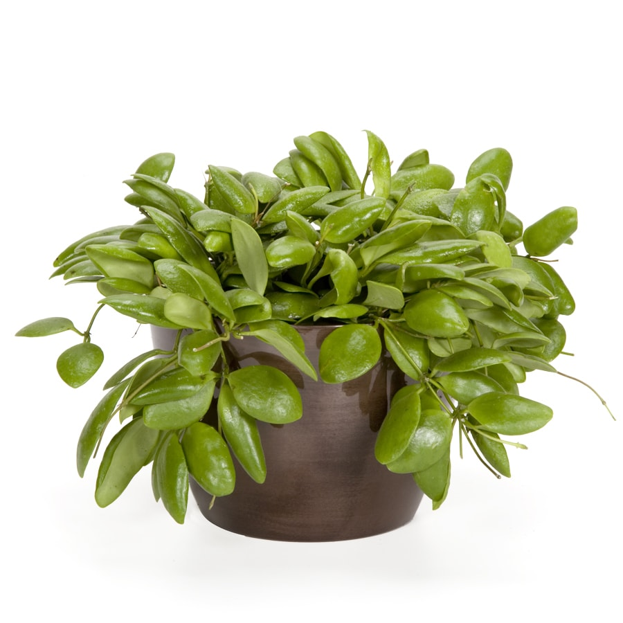 Exotic Angel Plants Hoya Sulwasee in 1.45 Quart Metal Tabletop Planter