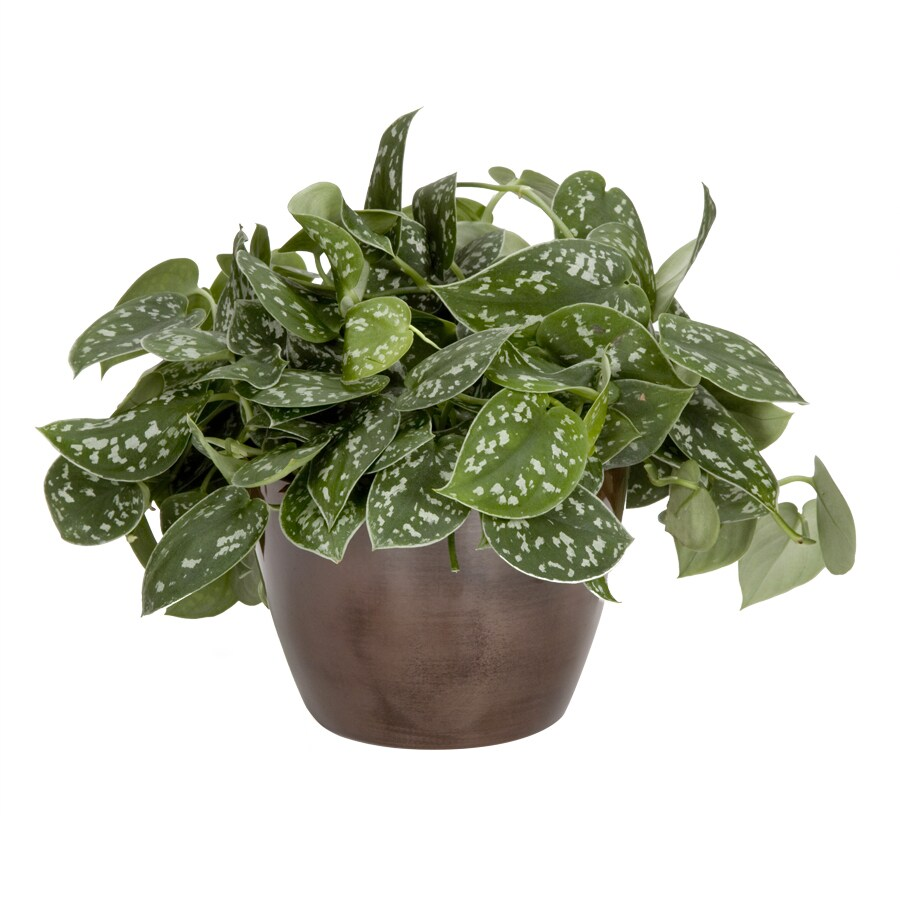 Exotic Angel Plants Silver Philodendron in 1.45 Quart Metal Tabletop Planter