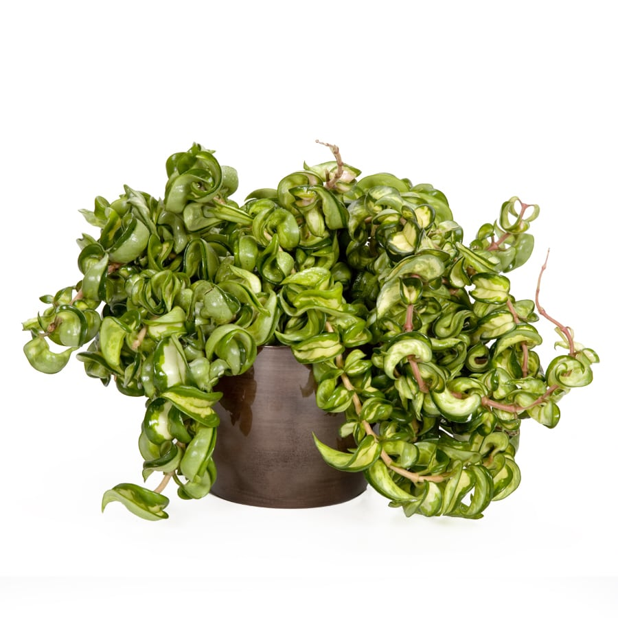 shop exotic angel plants hoya rope in quart metal
