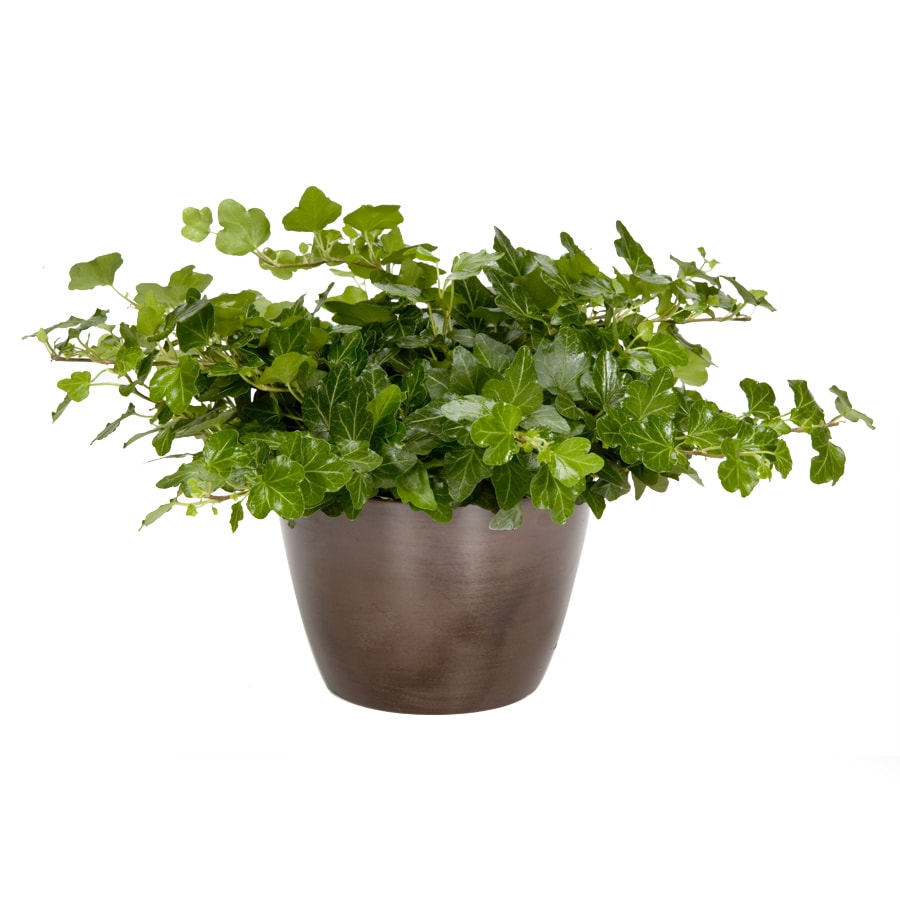 Exotic Angel Plants Ivy Green in 1.45 Quart Metal Tabletop Planter