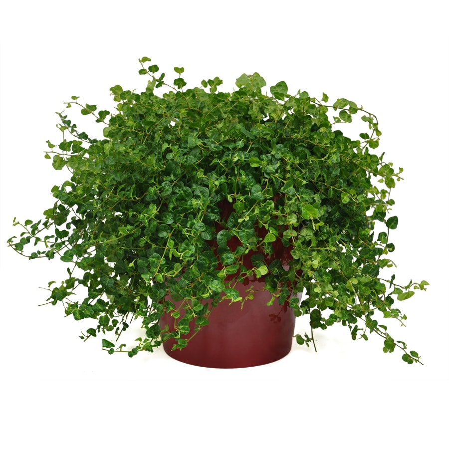 Exotic Angel Plants Ficus Curly Fig in 3.0 Quart Ceramic Tabletop Planter