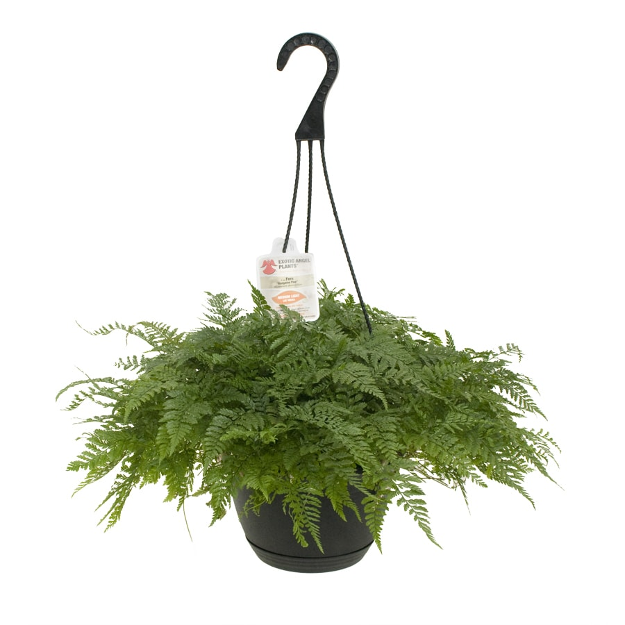 Exotic Angel Plants Fern Rabbit's Foot in 3.0 Quart Hanging Basket