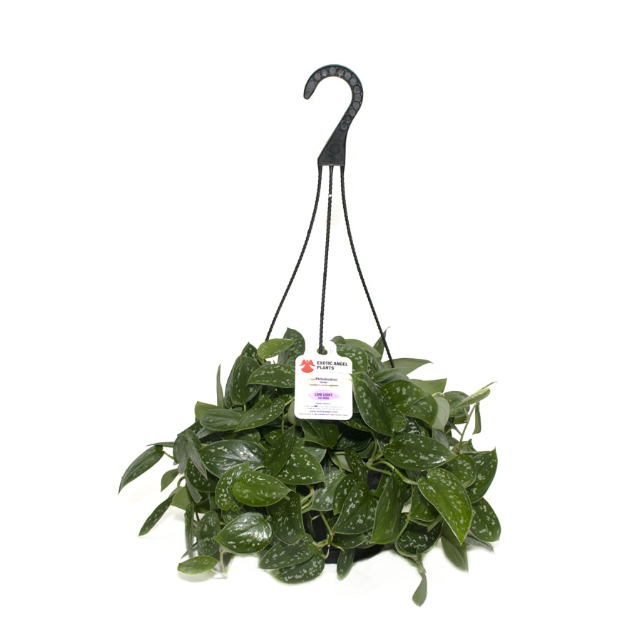Exotic Angel Plants Silver Philodendron in 3.0 Quart Hanging Basket