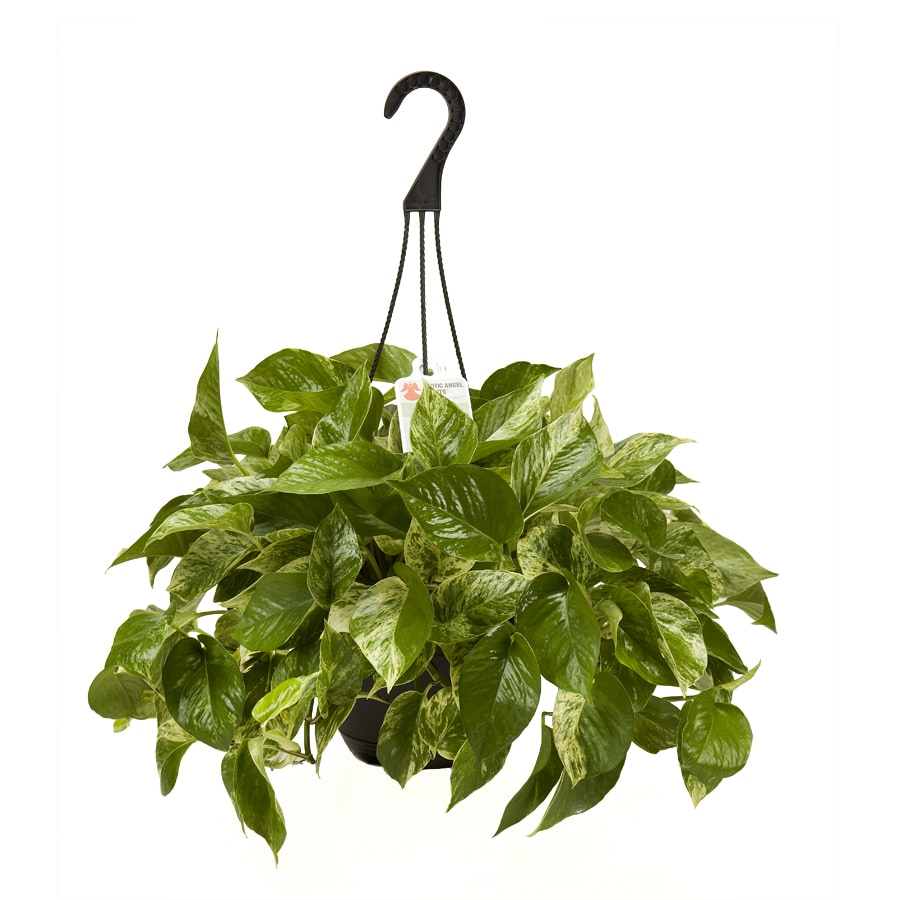 Exotic Angel Plants Pothos Marble Queen in 3.0 Quart Hanging Basket