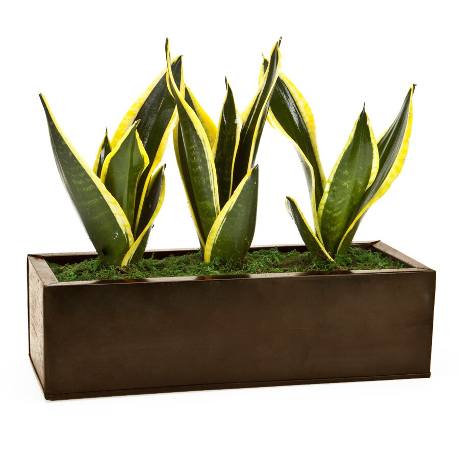 Exotic Angel Plants Dark Copper Zen Garden in 6.88 Quart Metal Tabletop Planter