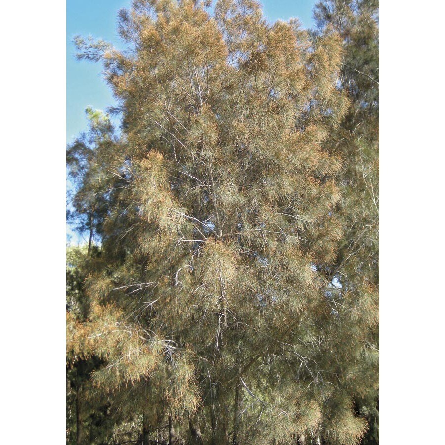 3.25-Gallon River She Oak Feature Tree (L24309)