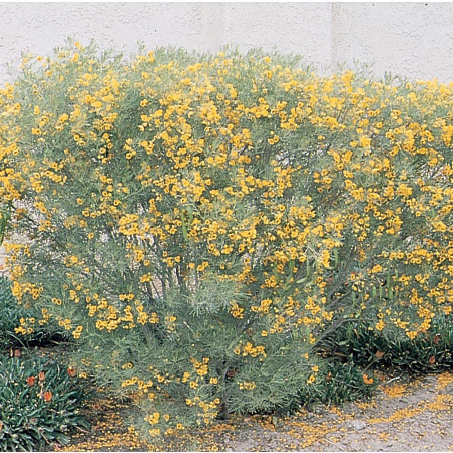 3.43-Gallon Yellow Feathery Cassia Accent Shrub (L9388)