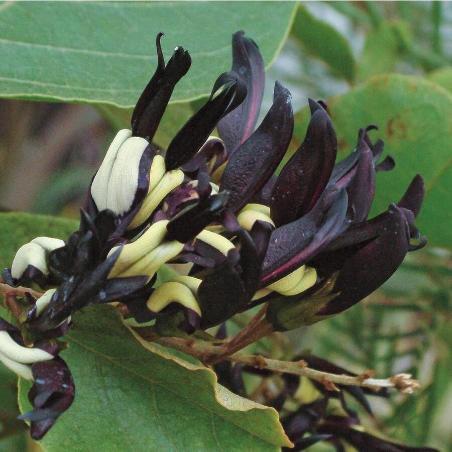 3.25-Gallon Bicolor Black Coral Pea Flowering Shrub (L24535)