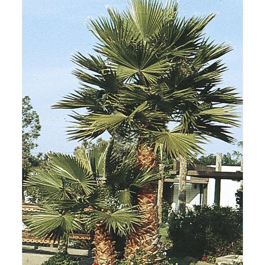 27.5-Gallon Mexican Fan Palm Feature Tree (L3048)