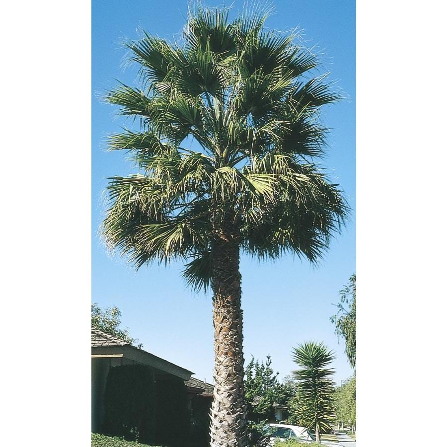 3.61-Gallon California Fan Palm (L7197)