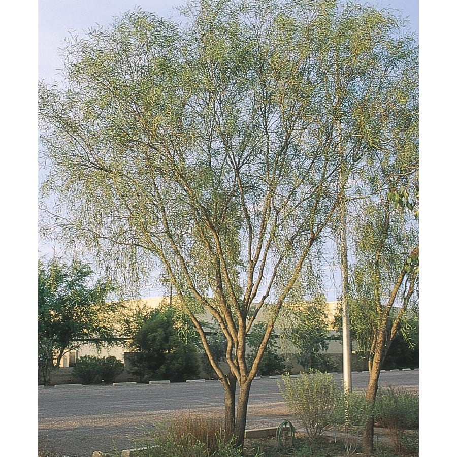 28.5-Gallon Willow Acacia Feature Tree (L7642)