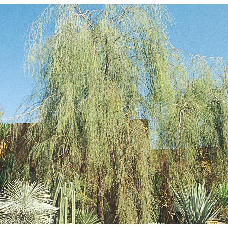 28.5-Gallon Shoestring Acacia Feature Tree (L9438)