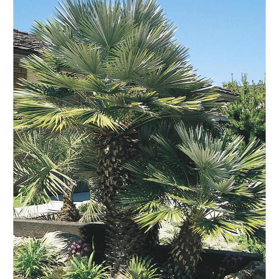 45.28 Gallon European Fan Palm (L9064)