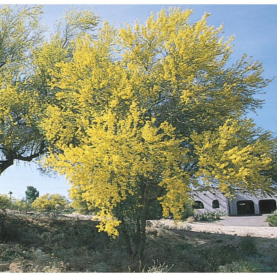 28.5-Gallon Blue Palo Verde Feature Tree (L4007)