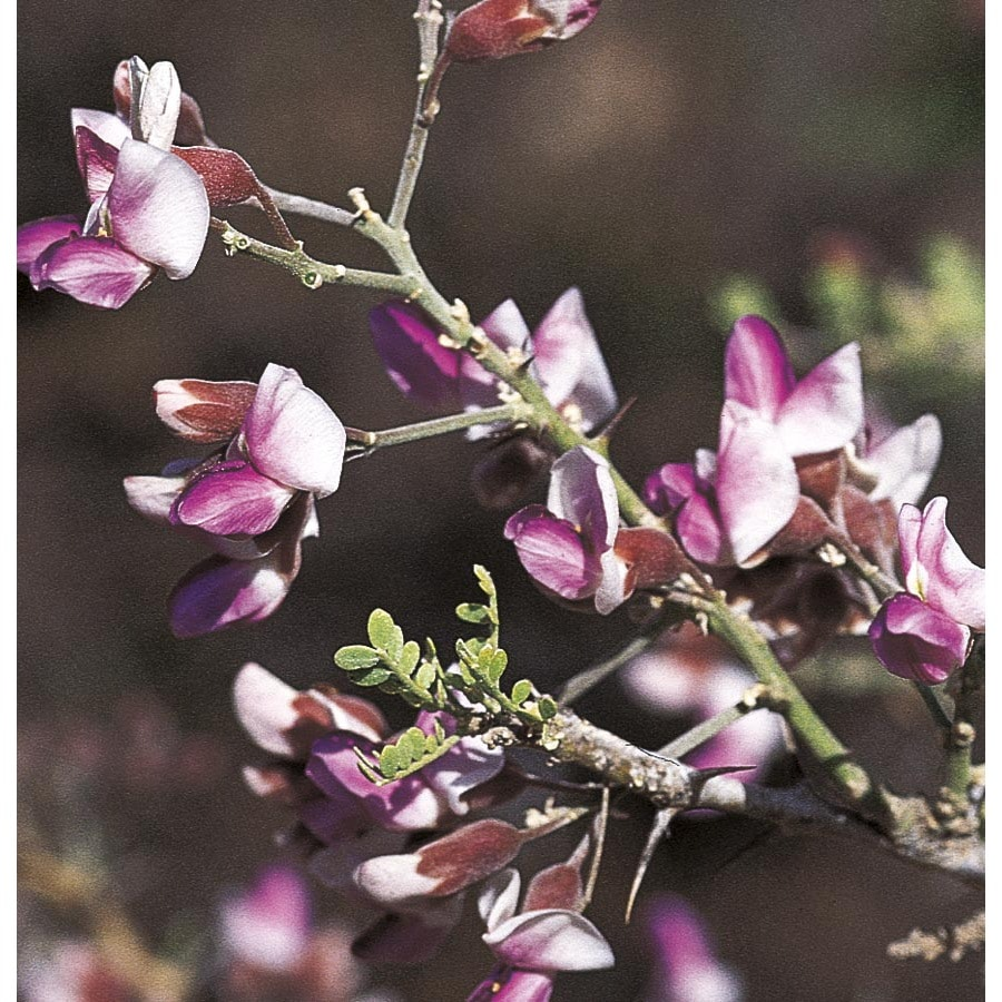 28.5-Gallon Desert Ironwood Flowering Tree (L14922)
