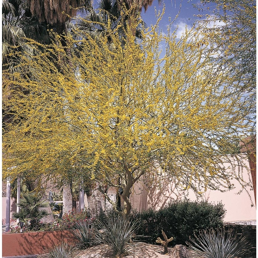 28.5-Gallon Foothills Palo Verde Feature Tree (L14892)