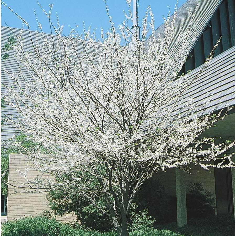 28.5-Gallon Texas White Redbud Flowering Tree (L1030)