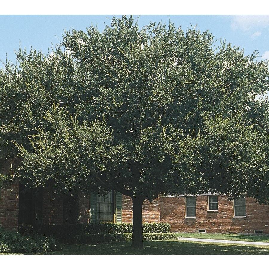 28.5-Gallon Live Oak Shade Tree (L3670)