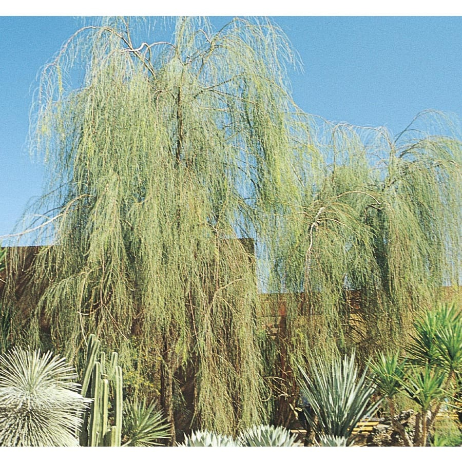 108.34-Gallon Shoestring Acacia Feature Tree (L9438)