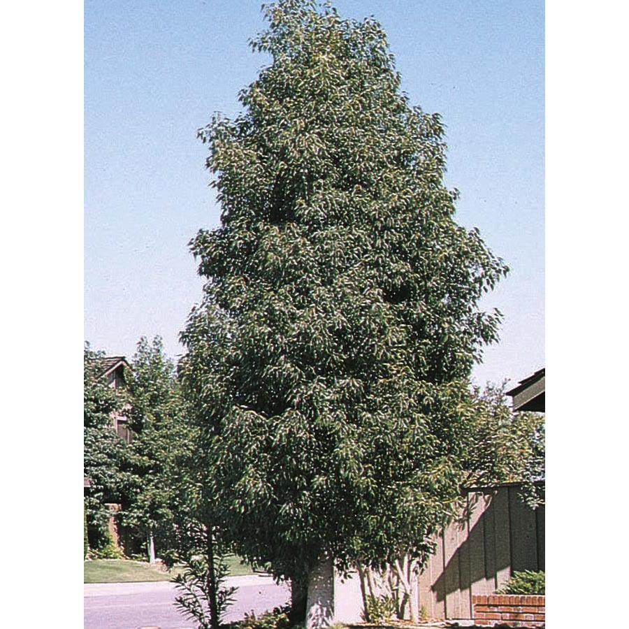 108.34-Gallon Bottle Tree Shade Tree (L4000)