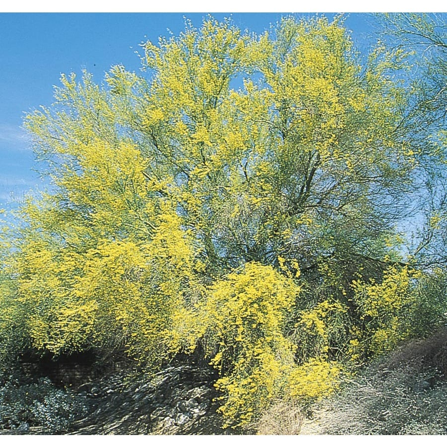 108.34-Gallon Sonoran Palo Verde Feature Tree (L4008)
